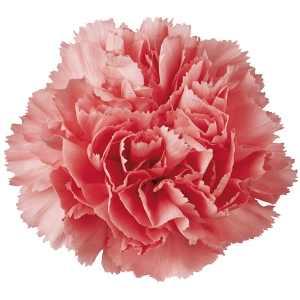 pink-bulk-carnations