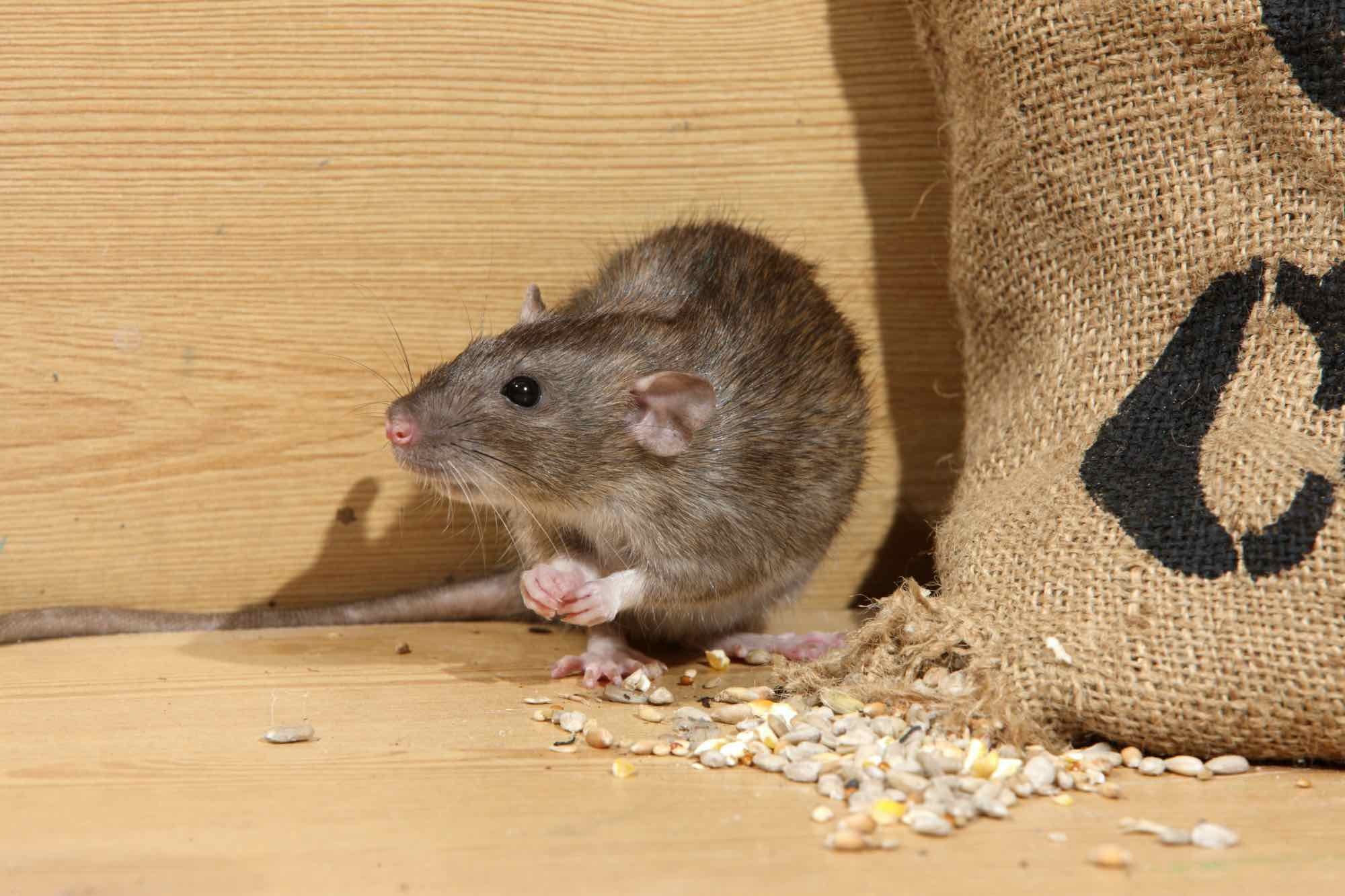 Pest Control Tips: 7 Rodent Removal & Prevention Strategies That Can Bring You Peace