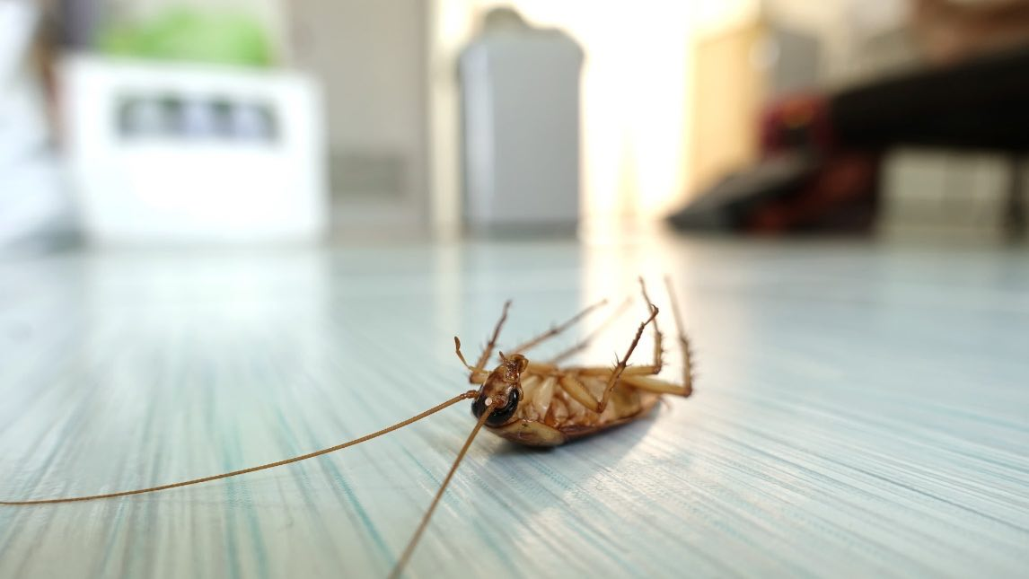German Cockroach vs American Cockroach: What's the Difference?