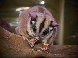 How to Properly Take Care of Your Pet Sugar Glider