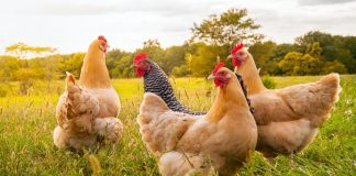 Let the Rooster Crow: 5 Undeniable Benefits of Keeping Chickens
