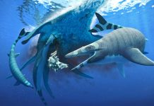 New Shark-tooth Mosasaur Species discovered in Morocco